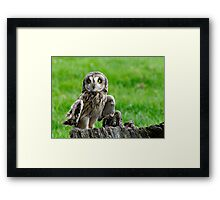 Short Eared Owl Asio flammeus Framed Print