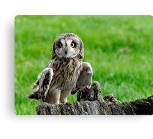 Short Eared Owl Asio flammeus Canvas Print