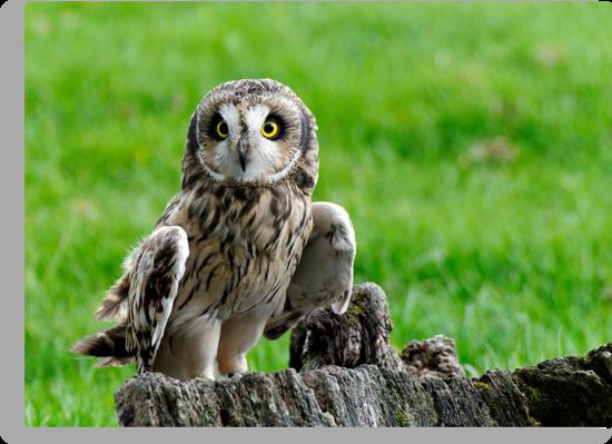 Short Eared Owl Asio flammeus by buttonpresser