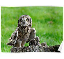 Short Eared Owl Asio flammeus Poster