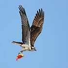 Osprey and Goldfish by DavidQuanrud
