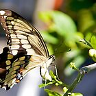 Swallowtail Butterfly by njordphoto