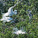 Great White Heron Mating Ritual by Memaa