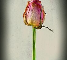 Old Rose on Paper by JonDelorme