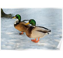 Two Mallard Ducks in the Snow Poster