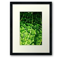 Close-up of a backlit savoy cabbage Framed Print