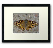 Meadow Argus Butterfly - Junonia villida Framed Print
