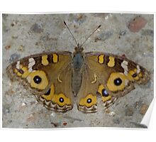 Meadow Argus Butterfly - Junonia villida Poster