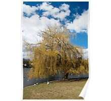 Willow Tree in Autumn Poster