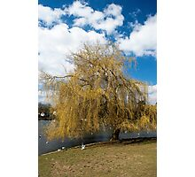 Willow Tree in Autumn Photographic Print