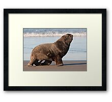 New Zealand Sea Lion 2 Framed Print