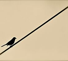 Bird on a wire by kgphoto