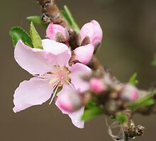 Blooming; La Mirada, CA USA by leih2008