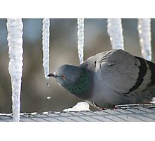 Drinking Dove Photographic Print