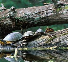 Basking Turtles by Bill Spengler