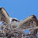 Young Osprey Tests His Wings by Linda Godfrey