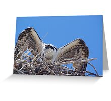 Young Osprey Tests His Wings Greeting Card