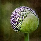 Budding Allium by Jessica Manelis