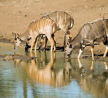Nyala at the waterhole by Vickie Burt
