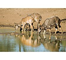 Nyala at the waterhole Photographic Print