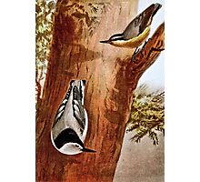 Red-breasted nuthatch and White-breasted nuthatch Photographic Print