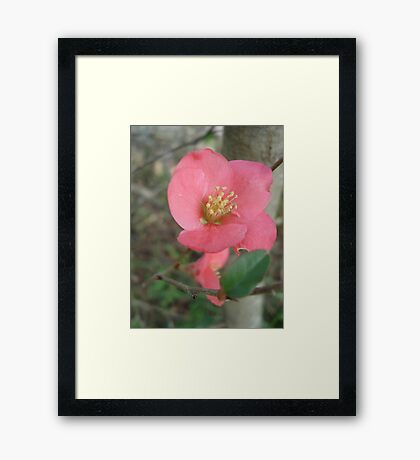 Flowering quince Framed Print