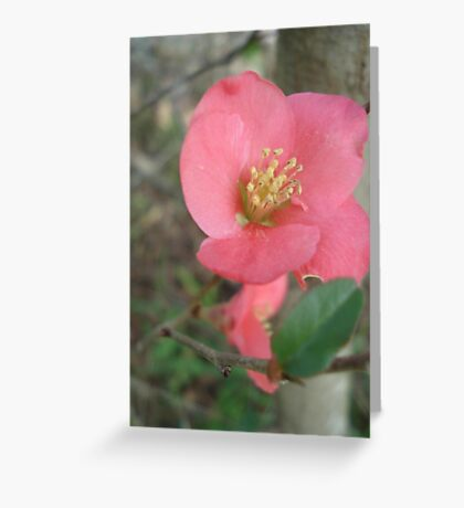 Flowering quince Greeting Card