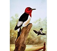 Red Headed Woodpecker Art Photographic Print