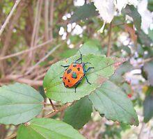Orange Stink Beetle by Angela Simpkin
