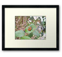 Orange Stink Beetle Framed Print
