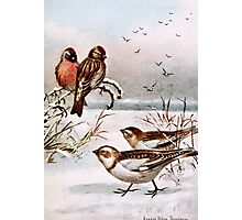 Redpoll and Snowflake Birds Photographic Print