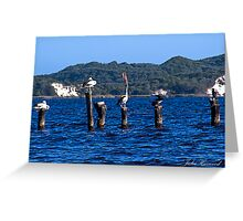 Pelicans at Walpole in Western Australia Greeting Card
