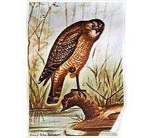 Red Shouldered Hawk art Poster