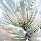 Pine needles covered in frost - 2 by Linn Arvidsson