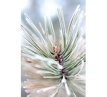 Pine needles covered in frost - 2 Photographic Print