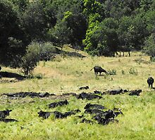 Summer Grazing ~ Cattle by Jan  Tribe