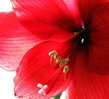 Amaryllis Blossom by Jan  Tribe