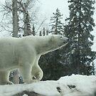 Majestic White bear by eoconnor