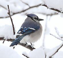 Snowfall on a Blue Jay by John Banks
