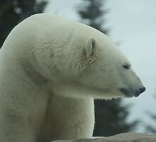 Polar Bear Up close by eoconnor