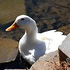 White Quacker by Ginger  Barritt