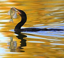 Double-crested Cormorant with fresh catch by DavidQuanrud
