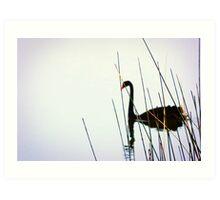 Black Swan & Reeds Art Print