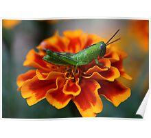 Green Grasshopper Poster