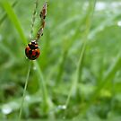 Life of the Lady Beetle by melodyart
