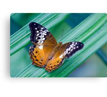 Cruiser Two - Kuranda butterfly sanctuary Canvas Print