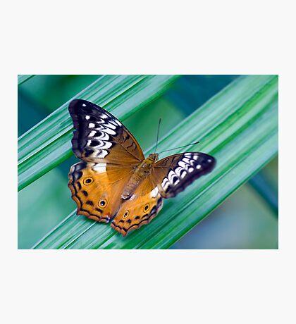Cruiser Two - Kuranda butterfly sanctuary Photographic Print