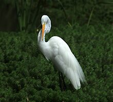 Great White Heron in Reeds by rhamm