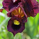 Purple Iris by Philip Golan