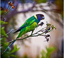 Parrot Feast Photographic Print